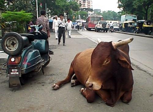 vache sacrée.jpg