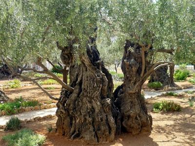 Jardin de Gethsémani 2.jpg